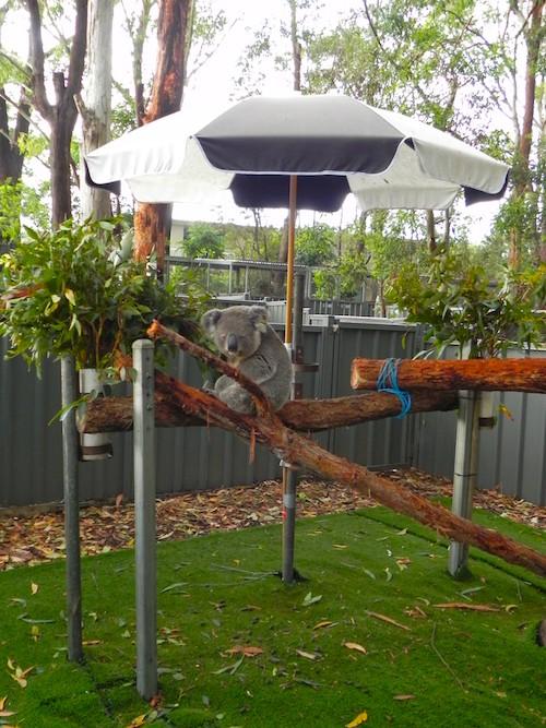 6 Wochen Australien Road Trip Koala Hospital